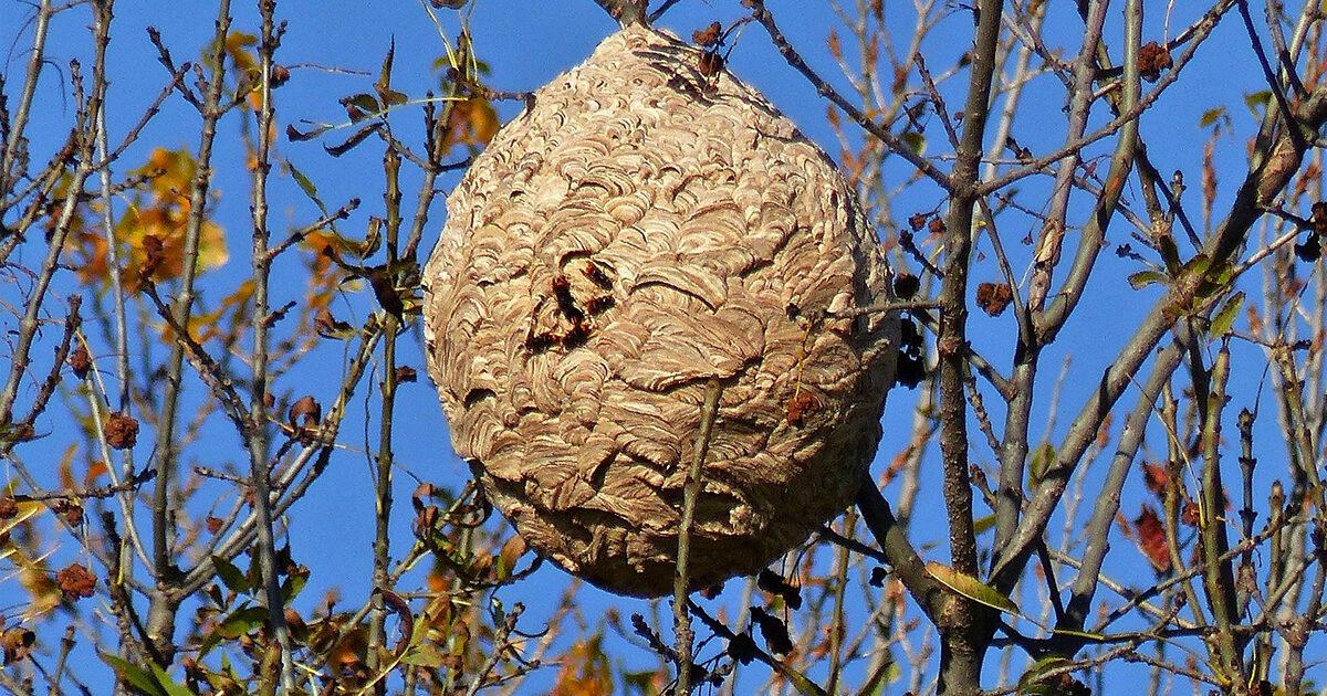Photo d'illustration : nid de frelons asiatiques